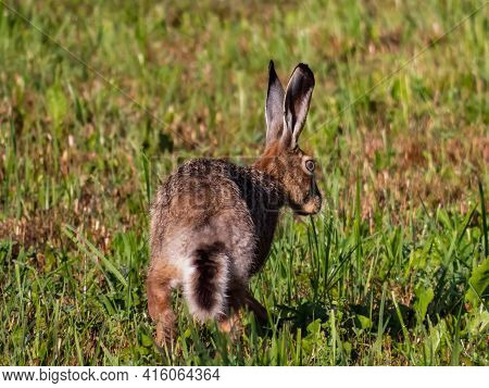 The European Hare Or Brown Hare In The Grass Surrounded With Greenery Early In The Morning In Summer