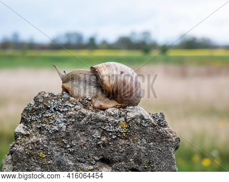 Roman Snail Or Burgundy Snail With Light Brownish Shell On The Rock With Blurred And Beautiful Lands