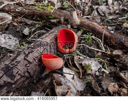Cup-shaped Fungus Scarlet Elfcup (sarcoscypha Austriaca) Fruit Bodies Growing On Fallen Pieces Of De