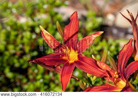 Beautiful Red Daylilies In A Flower Bed