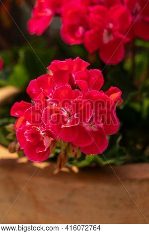 Red Geranium ( Pelargonium) Flowers Blooming In A Garden