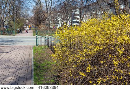 Spring Landscape Park With Yellow Flowering Bushes, With Walking Paths Inside The Residential Area