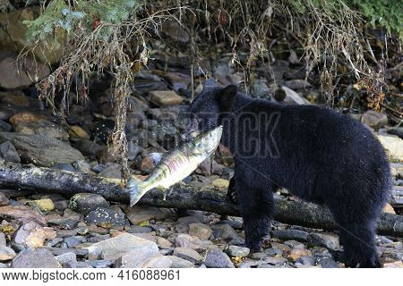 Neets Bay, Alaska / Usa - August 18, 2019: Alaska Black Bear, Neets Bay, Alaska, Usa