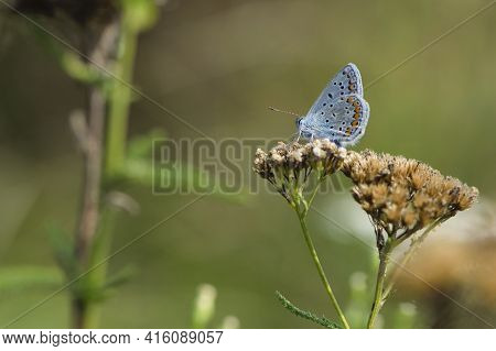 The Butterfly Sits On Small White Wildflowers. Close-up Of A Small Butterfly, Pseudophilotes Bavius,
