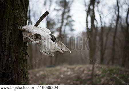 Cow Skull. Concept Of Death, Halloween. The Skull Hangs On A Tree. A Spooky Cow's Skull And Riveted