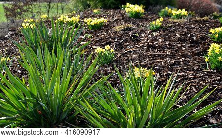 Perennial Beds With Miniature Bunches Of Daffodils In A Bark Mulched Flower Bed On A Hill. Stones An