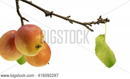 An Apple Tree Branch With Ripe Red-yellow Apples And A Lonely Leaf. Autumn Fruits. White Isolated Ba