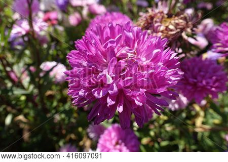 Double Pink Flower Head Of China Aster In September