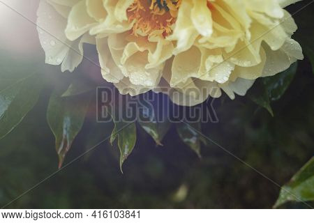 Peony Flower Close Up On Dark Green Background. Tree Pion. Spring Or Summer Card.