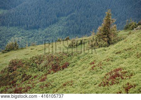 A Herd Of Cattle Grazing On A Lush Green Hillside