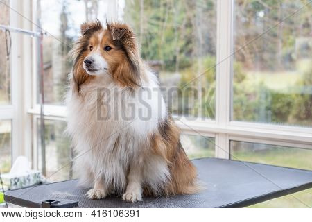 Shetland Sheepdog Is Posing On Grooming Table. Horizontally.