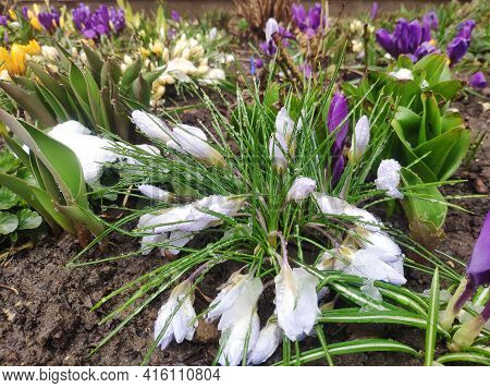Crocus Flowers Are Covered With Fallen Snow. Snowdrops In The Snow. Frozen Plants In The Garden, Wil