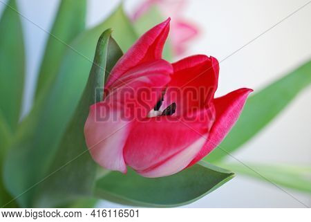 Beautiful Bright Pink Spring Tulip Close Up