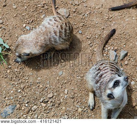 Meerkats Life In The Zoo. Mongoose. Suricat Suricatta In Zoo. Cute Animal.