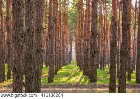 Tall Trees In The Forest With The Right Perspective And Long Shadows. Forest Road In The Foreground.