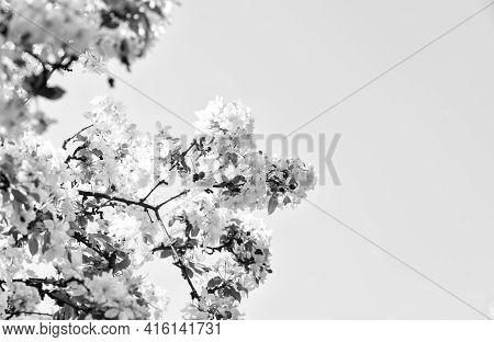Spring Allergy. Botany And Gardening Apple Tree Blossoms. Honey Plants. Inspiring Flowers. Botanical