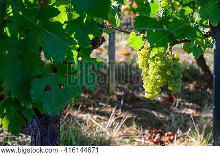Green Vineyards Located On Hills Of  Jura French Region, White Savagnin Grapes Ready To Harvest And