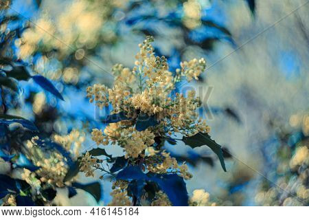 Blooming Flowers Holly Branch With Colorful Textured Background With Bokeh And A Grainy Texture And