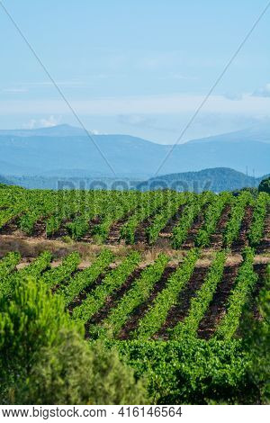 Rows Of Ripe Syrah Wine Grapes Plants On Vineyards In Cotes  De Provence, Region Provence, South Of