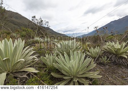 View Of The Paramos, Endemic Plants, Mountain Near Merida. Unique Ecosystem Found In The Andes Of Ve