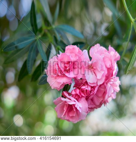 Oleander Pink Terry. A Branch Of A Blooming Oleander Hangs Down. Square Crop.