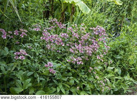 Purple Astrantia Major Flower Boom In The Garden