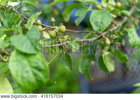 Green Small Ovaries Of Apples On A Branch.