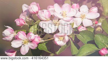 Pink Apple Blossom In Spring Under Soft Light