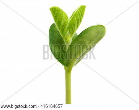 Young Soybean Plant Isolated On White, Glycine Max