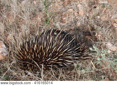 A Porcupine, A Rodent With Coats Of Sharp Spines Or Quills