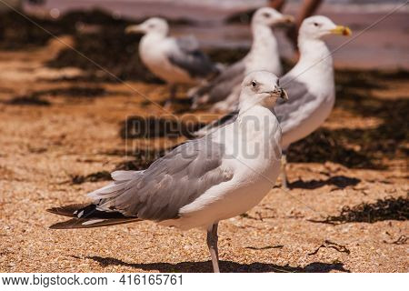 Seagulls At The Beach. Seagull On The Sand.
