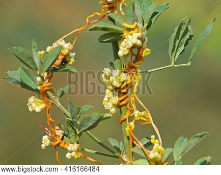 The Greater Dodder Or European Dodder, Parasitic Plant On Alfalfa. Cuscuta Europaea