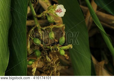 Cardamon Also Known Cardamum- A Spice Made From The Seeds Of Several Plants In The Genera Elettaria