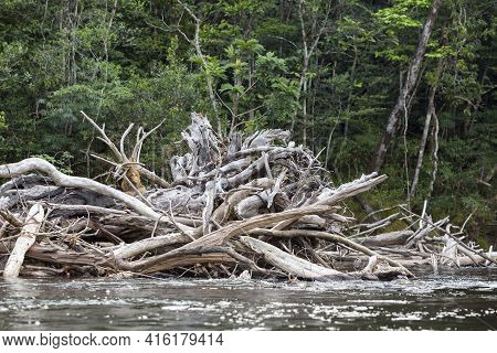 Group Of Death Trees And Branches Standing In The Gauja River. Canaima National Park. Bolivar State,