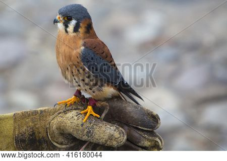 Otavalo, Ecuador, March 1: American Kestrel Standing On The Leather Glove Of His Trainer At An Andea
