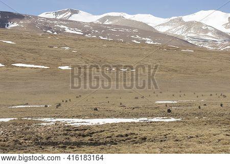 Herd Of Yaks Grazing In The Himalaya On The Friendship Road Going To Kathmandu, Tibet, China