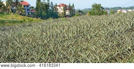 MANILA, PHILIPPINES - APRIL 4, 2016:  Pineapple Plantation in the Philippines. The fruit is widely grown in the island nation.