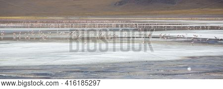 Panorama Of Group Of Pink Flamingos Standing And Eating On The Laguna Colorada Close To The Eduardo