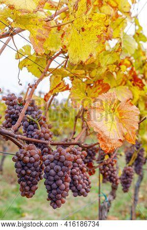 Grapes in autumn vineyard, Southern Moravia, Czech Republic
