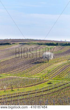 Spring vineyard near Cejkovice, Southern Moravia, Czech Republic