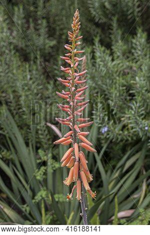 Orange Aloe Flower Against Green Shrub Background