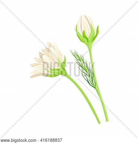 Common Daisy Or Bellis Perennis On Stem With White Ray Florets Vector Illustration