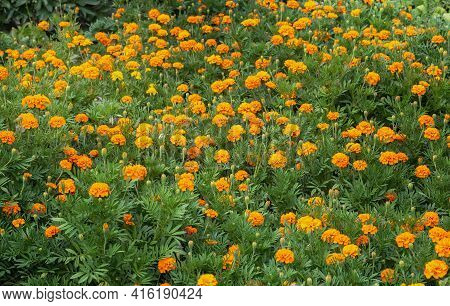 Yellow-orange Flowers Of Marigolds Or Tagetes, Blooming In A Flower Bed In The Garden. Tagetes Plant