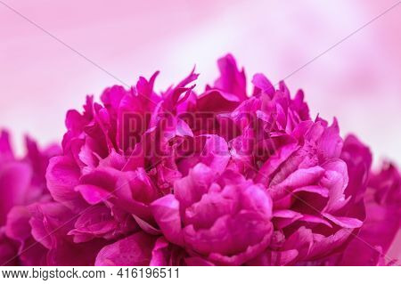 Beautiful Flowery Background From Red Purple Petals Of Peony. Tender Spring Flower Close Up. Natural
