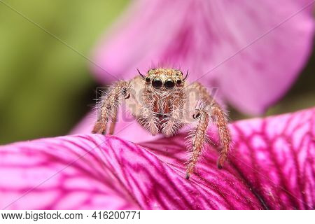 Jumping Spider On Pink Flowers In The Garden. Hyus Spider On Flowers With Green Background.