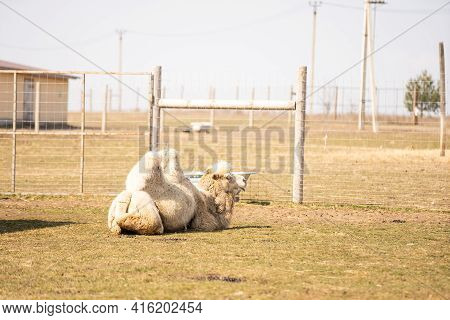 The Zoo Cage Behind Which The Camel.the Zoo Cage Behind Which The Camel