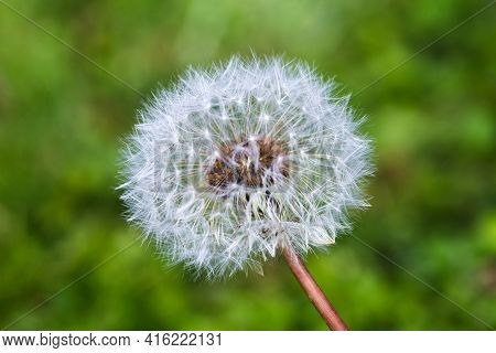 Close-up White Blowball Dandelion On A Green Meadow Background. Make A Wish Concept Or Summer Time C