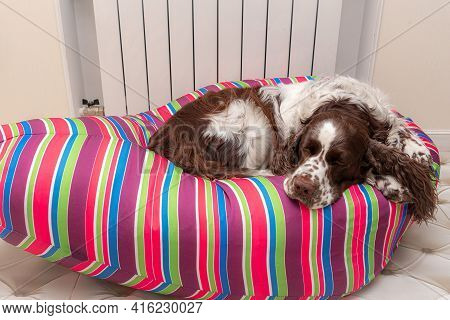 The Dog Breed English Springer Spaniel Lies Curled Up On A Bright Striped Bag Chair. Tired Dog Sleep