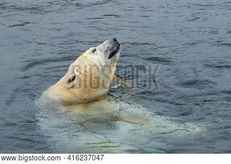 The Polar Bear, Ursus Maritimus Swimming In The Pool In Zoo