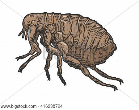 Flea Louse Insect Color Sketch Engraving Vector Illustration. Scratch Board Style Imitation. Black A